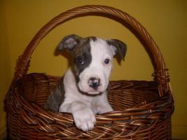 Super süßes American Staffordshire Terrier Mädchen