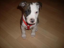 Foto 2 Super süßes American Staffordshire Terrier Mädchen