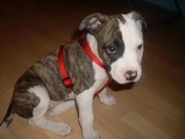 Foto 3 Super süßes American Staffordshire Terrier Mädchen