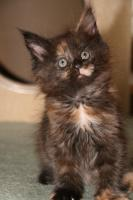 Foto 3 Super typvolle Maine Coon Kitten