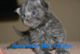 Foto 4 Super typvolle Maine Coon Kitten
