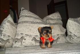 Supermini Yorkshire Terrier Weibchen