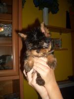 Foto 3 Supermini Yorkshire Terrier Weibchen