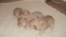 Foto 3 Superschöne Chihuahua Welpen