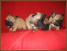 Superschöne Französische Bulldoggen Welpen