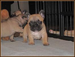 Foto 2 Supersch�ne Franz�sische Bulldoggen Welpen