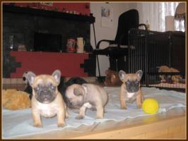 Foto 3 Superschöne Französische Bulldoggen Welpen