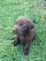 Supersch�ne schokobraune Labradorwelpen
