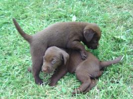 Foto 3 Supersch�ne schokobraune Labradorwelpen
