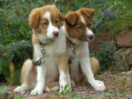 Supers��e Border Collie Welpen