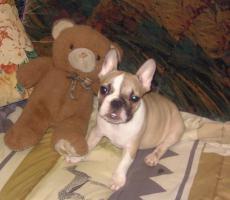 Supersüße Französische Bulldogge Rüde