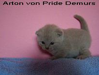 Foto 2 Supersüße Scottisch Fold / BKH Kitten