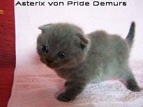 Foto 3 Supersüße Scottisch Fold / BKH Kitten