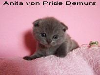 Foto 4 Supersüße Scottisch Fold / BKH Kitten