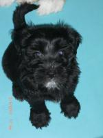 Foto 2 Supers�sse Tibetterrier-Welpen