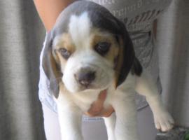 Foto 2 Supersüsse beagle hündinnen , eine mit spezielle Farben:-)