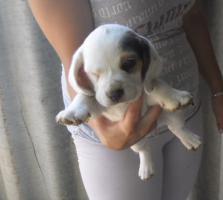 Foto 3 Supersüsse beagle hündinnen , eine mit spezielle Farben:-)