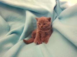 Supersüße blaue BKH-Kitten