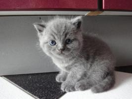 Foto 2 Supersüße blaue BKH-Kitten