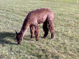 Foto 2 Suri-Alpaka,3 Jahre alt zu verkaufen
