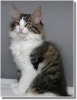 Foto 2 Suria's Cat's Norw. Waldkatzen hat noch ein Babie zu vergeben
