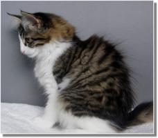 Foto 4 Suria's Cat's Norw. Waldkatzen hat noch ein Babie zu vergeben