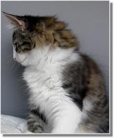 Foto 5 Suria's Cat's Norw. Waldkatzen hat noch ein Babie zu vergeben
