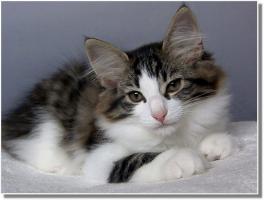 Foto 7 Suria's Cat's Norw. Waldkatzen hat noch ein Babie zu vergeben
