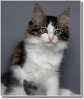 Foto 8 Suria's Cat's Norw. Waldkatzen hat noch ein Babie zu vergeben