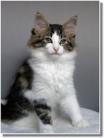 Foto 9 Suria's Cat's Norw. Waldkatzen hat noch ein Babie zu vergeben