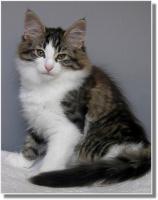 Foto 11 Suria's Cat's Norw. Waldkatzen hat noch ein Babie zu vergeben