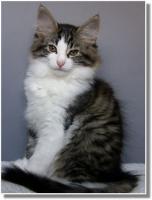 Foto 12 Suria's Cat's Norw. Waldkatzen hat noch ein Babie zu vergeben