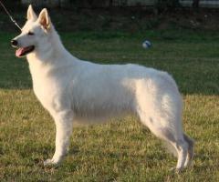 Swiss weißen Schäferhund Welpen zum Verkauf