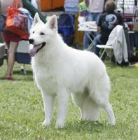 Foto 2 Swiss weißen Schäferhund Welpen zum Verkauf