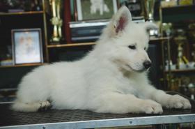 Foto 4 Swiss weißen Schäferhund Welpen zum Verkauf