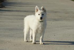 Foto 5 Swiss weißen Schäferhund Welpen zum Verkauf