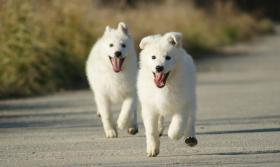 Foto 6 Swiss weißen Schäferhund Welpen zum Verkauf