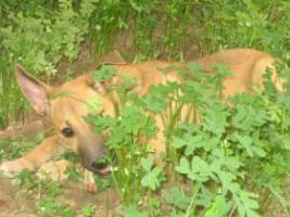 TATJANA - süßer Welpe sucht Familie (Tierschutzhund)