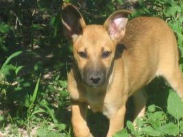 Foto 2 TATJANA - süßer Welpe sucht Familie (Tierschutzhund)