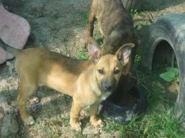 Foto 3 TATJANA - süßer Welpe sucht Familie (Tierschutzhund)