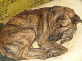 Foto 5 TIGRA – sie hat noch ihr ganzes Leben vor sich (Tierschutzhund)
