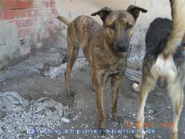 Foto 6 TIGRA – sie hat noch ihr ganzes Leben vor sich (Tierschutzhund)