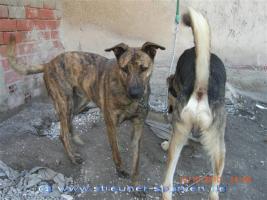 Foto 7 TIGRA – sie hat noch ihr ganzes Leben vor sich (Tierschutzhund)