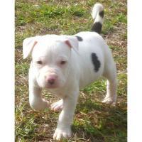 TOP Power American Pit Bull Terrier *10 Wochen*sehr kräftig*SDR Pedigree!!!