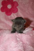 Foto 4 TRAUM Maine Coon Kitten BLUE SOLID