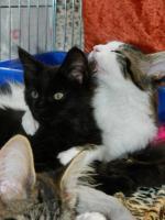 Foto 5 TRAUMHAFT SCH�NE REINRASSIGE MAINE COON KITTEN