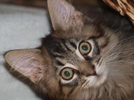 Foto 2 Tapvolle Maine Coon Kitten