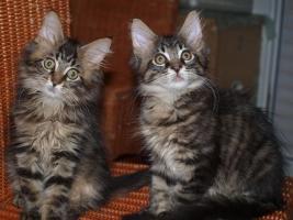 Foto 3 Tapvolle Maine Coon Kitten