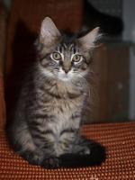 Foto 4 Tapvolle Maine Coon Kitten