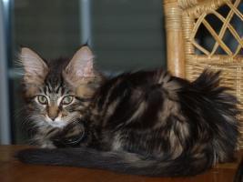 Foto 6 Tapvolle Maine Coon Kitten